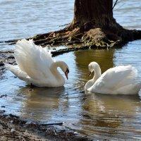 Лебеди остались зимовать 2 :: донченко александр