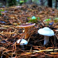 three young mushroom in a clearing among the pine needles :: valery60