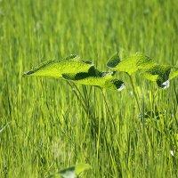 Зеленоглазое лето :: Екатерина Торганская