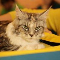 выставка кошек :: Игорь Смолин