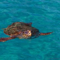 Морская черепаха Caretta caretta :: Peiper ///
