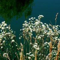 белые ромашки у озера :: Александр Прокудин