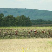 Сбор урожая :: Диана Муту