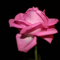 Роза в ночи. :: Ираида Мишурко