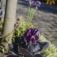 У хорошего дизайнера и капуста цветок. :: Сергей Щербаков