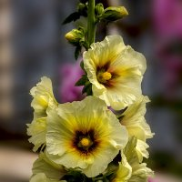 мальвы желтый цвет :: gribushko грибушко Николай