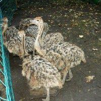 Трехмесячные страусята :: Надежда