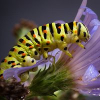На цветке... :: Sergey Apinis