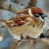 Кстати о птичках... Ну пошти орёл... :: Александр Резуненко