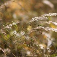 Травы осенние... :: Лилия *