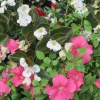 Цветочки белые и розовые :: Дмитрий Никитин