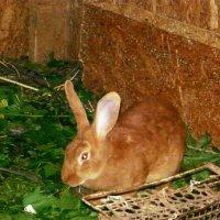 Рыжий кролик :: Надежда