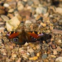 Бабочка на пляже :: Людмила Быстрова
