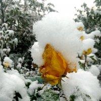 Желтая роза в снегу :: Татьяна Королёва