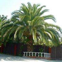 Старая пальма :: Вера Щукина