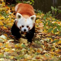Панда в осени :: Alexander Andronik