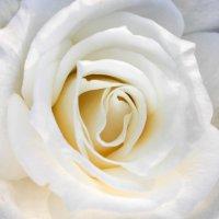 Осенняя роза :: Kate Knyazeva