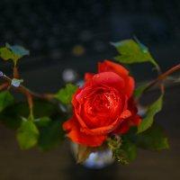 Роза с мороза... :: Татьяна Калинкина