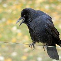 Ворона каркнула ..... :: Alexander Andronik