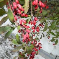 Барбарис зимой :: Andrew