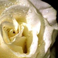 роза :: navalon M