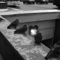 Голуби :: Андрей Батранин