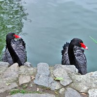 Черные лебеди. :: Наталья