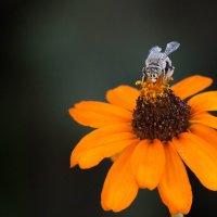 Пчела албинос :: Фазлиддин Инагамов