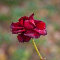 роза... :: Игорь Гарагуля