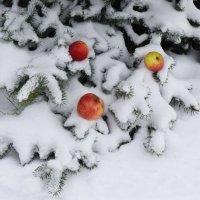 яблоки на снегу :: Татьяна Помогалова