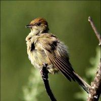 Славка-черноголовка, самочка :: Gavrila68 -Женя