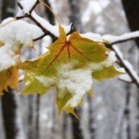 Он так нежен и так чист - весь в снегу последний лист. :: Инна Щелокова