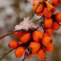 Облепиха под снегом :: Евгения Ряпасова