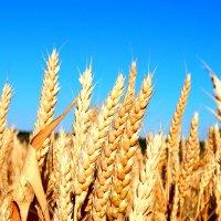 золотой хлеб :: Даша Щиголь
