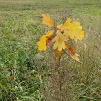 Желтые дубовые листья. :: Дмитрий Гринкевич