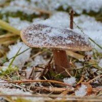 Зимние грибы. :: Paparazzi