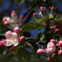 Цветение яблони :: Татьяна Тимофеева