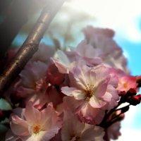 Цветение сакуры :: Татьяна Тимофеева