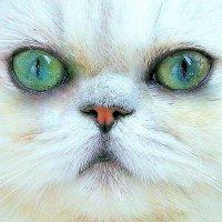 Портрет моей кошки. :: Оля Богданович