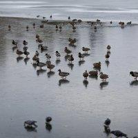 Утки на льду!!! :: Павел Нагорнов