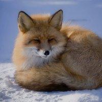 Рыжий лис. :: Марина Фомина.