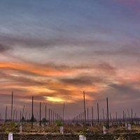 Молодой виноградник :: Ефим Журбин