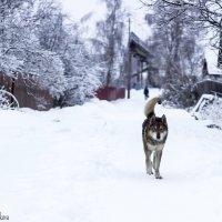 пес и снег :: виктория цветкова