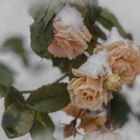 Зимние розы :: Вера Лучникова