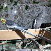 Кокора и Киро :: veera (veerra)