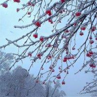 Зимняя рябина :: Svetlana27