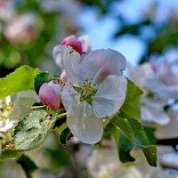 Яблони цвет :: Надежда Баликова