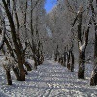 Стрельна. Ивовая аллея зимой... :: Владимир Ильич Батарин