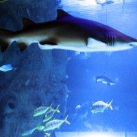Акула :: раиса Орловская