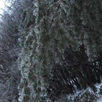 Ветка сосны в начале зимы :: Дмитрий Никитин